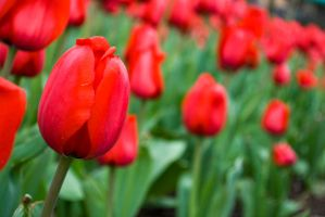 Red Tulips by SPisharam