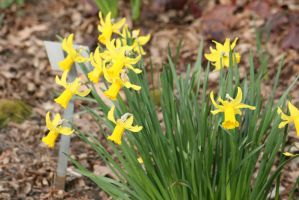view to daffodils by ingeline-art