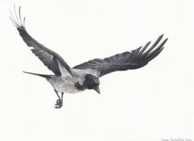 Flying hooded crow by makangeni