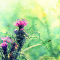 Thistle by TammyPhotography