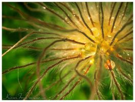 - Pulsatilla sp. - by kissesfrom