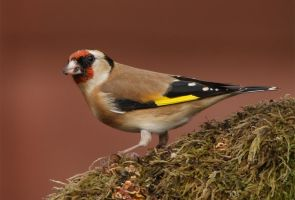 Goldfinch by Jamie-MacArthur