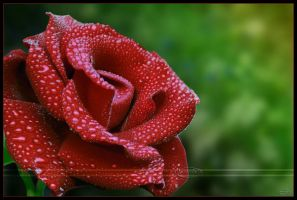 Candy coated rose by Nameda