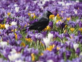 Springtime Corvus monedula by pagan-live-style