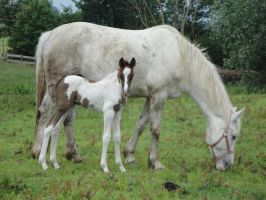 Standing Chestnut Tobiano Foal by Horselover60-Stock
