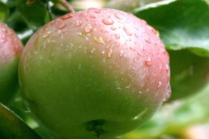 Apple in the Rain by thegreatdanno