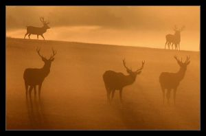 red deer at sunrise by digitalstu