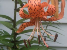 my tiger lilies again 2 by BlueIvyViolet