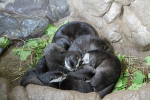 Sleeping Otters by botskey