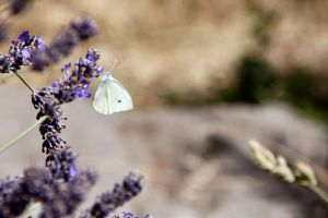 Cabbage White on lavender by Aconitum-Napellus
