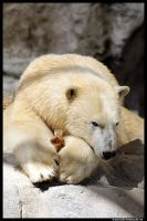 Polar Bear Portrait by TVD-Photography
