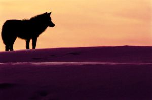 Wolf on Tundra by enrapturedx