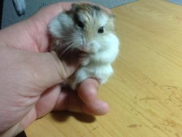 Chubbs the Baby Robo Hamster by hider66