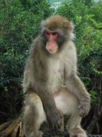 Japanese Macaque by Dandric101
