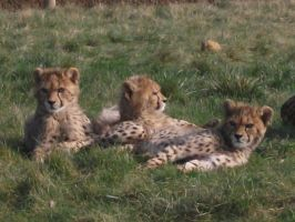 2011 - Cheetah cubs 13 by Lena-Panthera