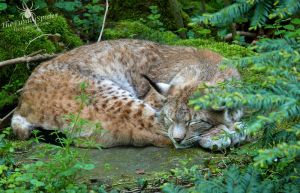 Sleepy Lynx- Female by TheFunnySpider