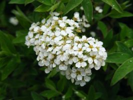 White Flowering Bush by Witchling-V