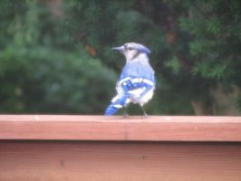 Bluejay V by LithiumStock