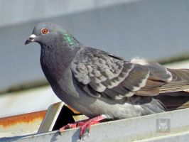 Pigeon On Gutter by wolfwings1