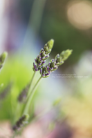 Newborn Lavender by puckrietveld