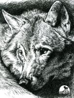 Wolf - Pen and Ink by katanimate