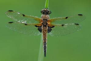 Libellula quadrimaculata in the morning dew by MetalLuilak