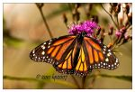 Monarch - 3 by bp2007