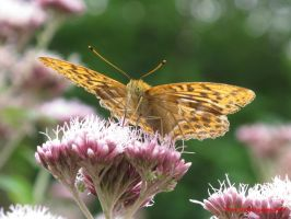 Silver-washed Fritillary by Terrydunk