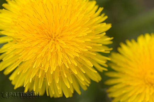 Dandelions by photog