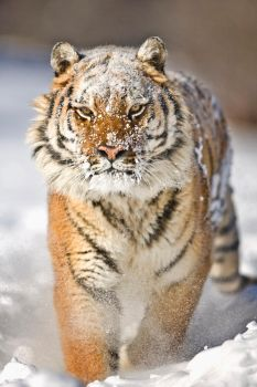 Siberian Tiger 10 by catman-suha