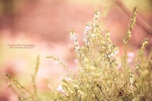 Pink Heather - Day 8 by rosannabell