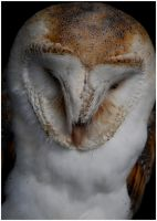 Barn owl portrait by Pidgel