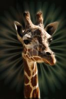 Giraffe at Hogle Zoo by houstonryan
