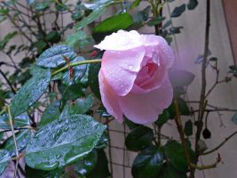 Raindrops On Roses by Calypso1977