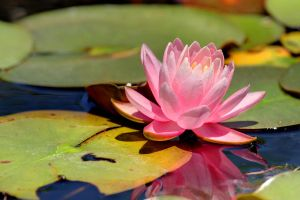 Sun-Bathing Water Lily by sicmentale