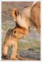 Lioness with Cub - 3011 by eight-eight