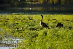 Canada Geese #2 by perost