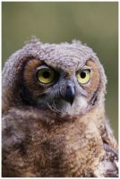 Juvenile Great Horned Owl II by W0LLE