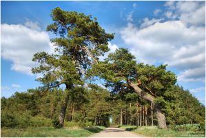 country road and pines by Wilithin