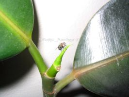 Fly and Rubber Plant by GothicAmethyst