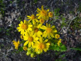 Yellow Flowers by estesgraphics