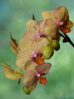 Phalaenopsis 4 by Martina-WW