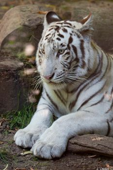 White Tiger by LOmbre24