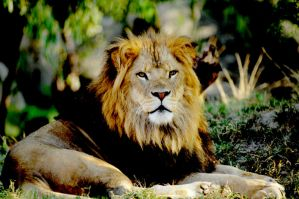 Lion 14 by Art-Photo
