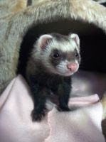 Ferret Stock 5 by Dingelientje-stock