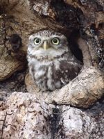 Little Owl 1 by lauratje86