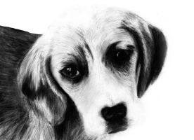 Beagle Dog Drawing by slippy88