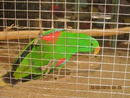 Eclectus by dafna14495