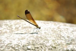 Dragonfly sitting on a rock by Swaal
