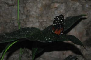 spotted tiger glassywing (Tithoriatarricina) by fluffylink